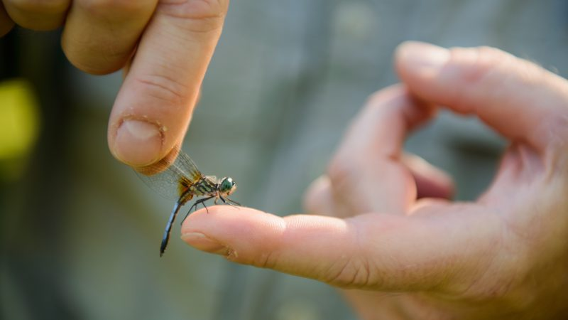 A dragonfly is held on the finger of a human hand.