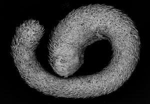 The mollusk Simrothiellidae, an aplacophoran Solenogastres taken near Iceland.