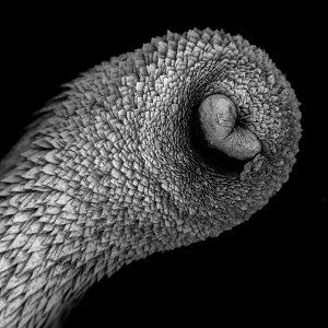 The mollusk falcidens, an aplacophoran caudofoveata from near New Zealand.