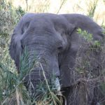 An African elephant in the wild of South Africa.