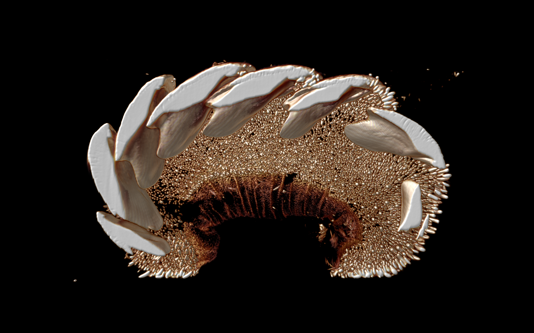 Micro-computed tomography scans of zoological specimens, such as this chiton (Mollusca), are being used to enable students to perform virtual dissections and study anatomy remotely.