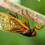 Cassini Periodical cicada