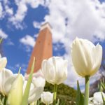 close up of white tulips with a blurred Denny Chimes in the background