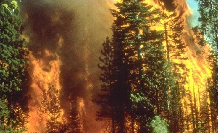 A wildfire rages among tall trees.