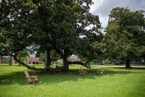Adirondack chairs under a tree.