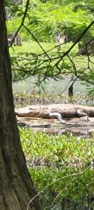Alligator spotted in Tuscaloosa by Dr. Scott Jones