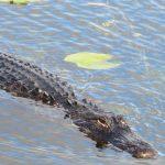 Alligator spotted by Dr. Scott Jones