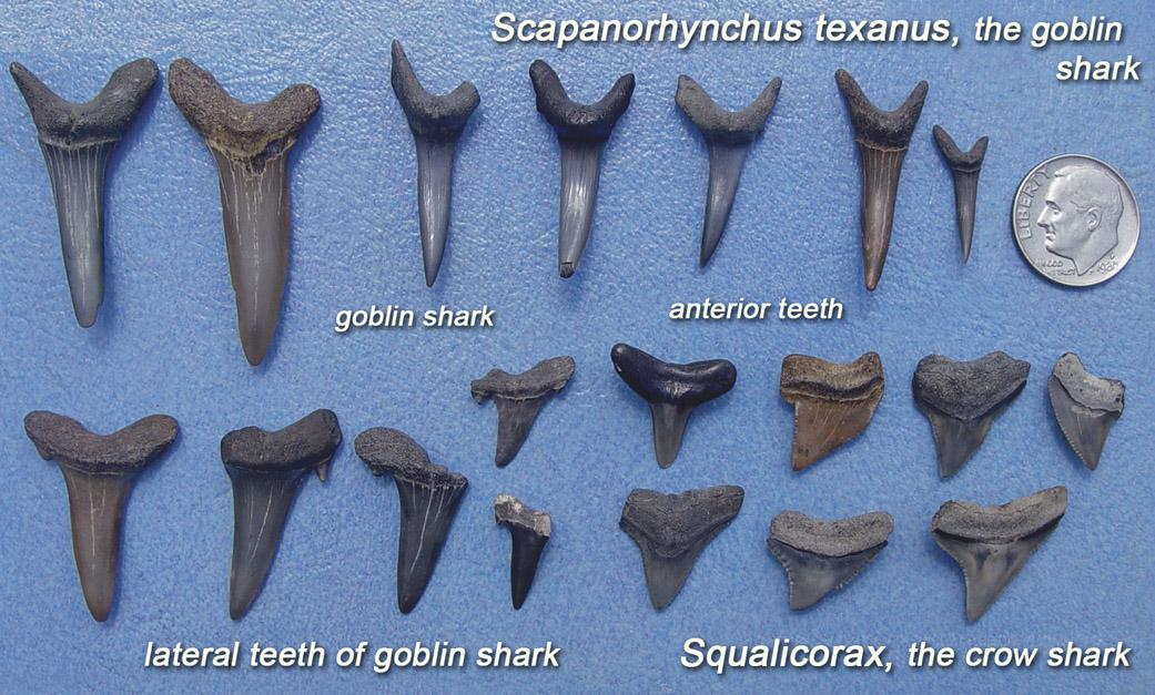 The teeth of ancient extinct shark species found in Alabama.