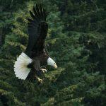 American bald eagle flying.