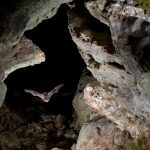 Eastern pipistrelle flying in a cave